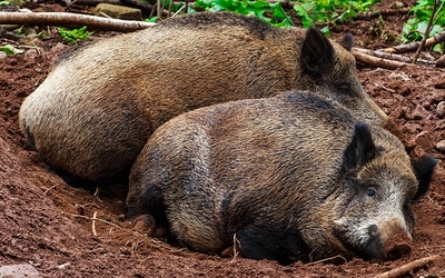 ASP - Die Afrikanische Schweinepest